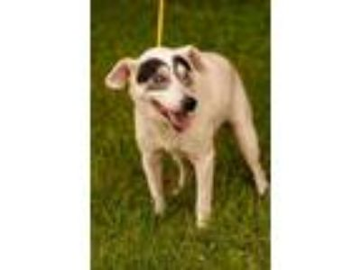 Adopt Bisquit a Jack Russell Terrier