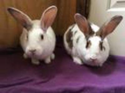 Adopt Tia and Tamara a Bunny Rabbit