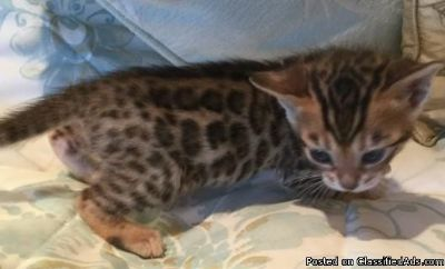 tyh Bengal Kittens for sale