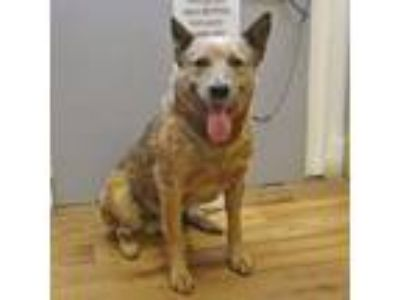 Adopt 19-d03-008 Maverick a Australian Cattle Dog / Blue Heeler