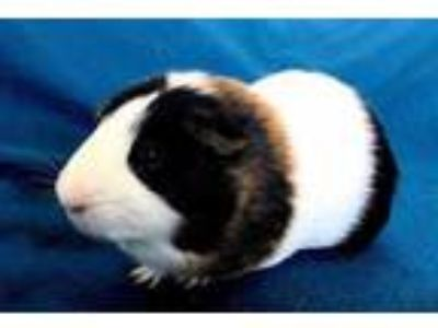 Adopt Oliver a Black Guinea Pig / Mixed small animal in Edmond, OK (20827274)