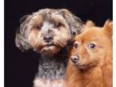 Adopt Bear a Yorkshire Terrier