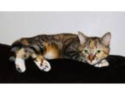 Adopt Carrie a Calico or Dilute Calico Domestic Shorthair (short coat) cat in