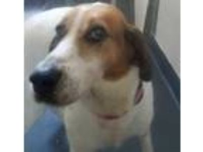 Adopt Huck 26077-d a White Coonhound / Mixed dog in Ithaca, NY (25631804)
