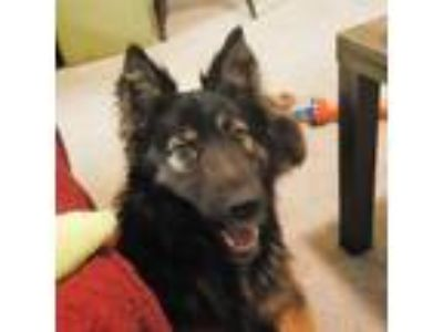 Adopt zzAstro a Black Belgian Malinois / Shepherd (Unknown Type) / Mixed dog in
