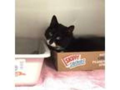 Adopt Nemo a All Black Domestic Shorthair / Mixed cat in Wantagh, NY (25329683)