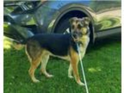 Adopt Ezie a German Shepherd Dog, Mixed Breed