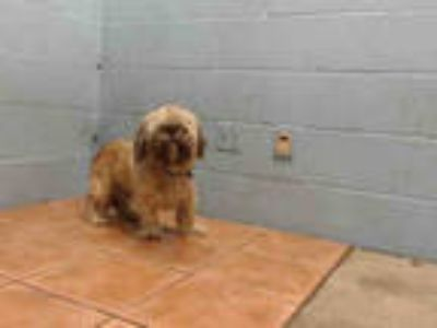 Adopt BENITO a Brown/Chocolate Shih Tzu / Mixed dog in Downey, CA (25606951)