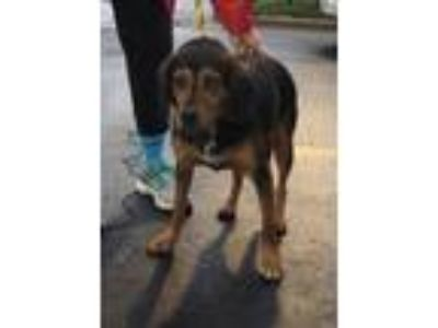 Adopt McGraw Country a Beagle / Mixed dog in Boston, MA (25654903)