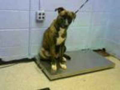Adopt CANDY a Pit Bull Terrier, Mixed Breed