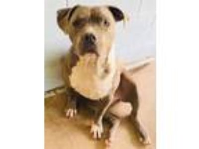 Adopt Taco a Pit Bull Terrier / Mixed dog in North Fort Myers, FL (23722641)
