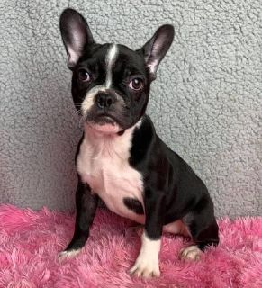 Candace Female Frenchton