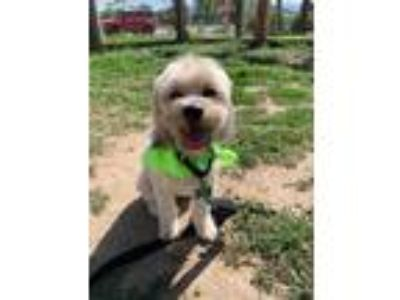 Adopt Luna a Tan/Yellow/Fawn Lhasa Apso / Mixed dog in Fort Collins