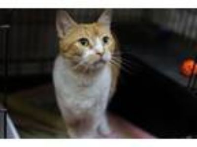 Adopt Charlie a Domestic Short Hair