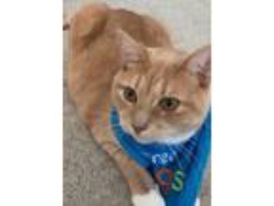 Adopt Phineas Declawed Orange Tiger a Tiger, American Shorthair