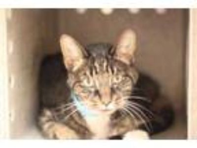 Adopt MINDY a Brown or Chocolate Domestic Shorthair / Domestic Shorthair / Mixed