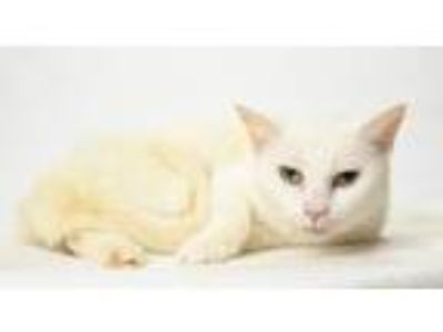 Adopt Whitey a White Domestic Shorthair / Mixed (short coat) cat in Oxford