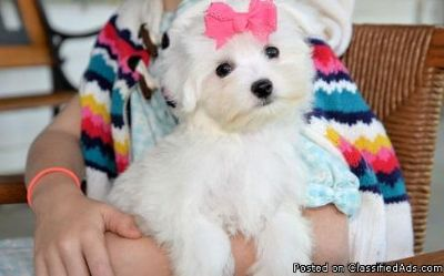 tomason jemas male and female Maltese puppies for adoption please contact via text or call for more details (530)-436