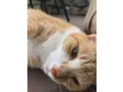 Adopt Cannoli a Orange or Red (Mostly) Domestic Shorthair / Mixed cat in