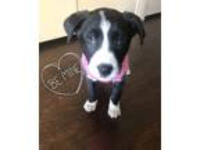 Adopt Mika a Black - with White Border Collie / Pit Bull Terrier / Mixed dog in