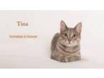 Adopt Tina a Tabby