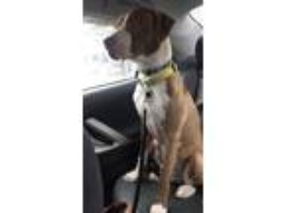 Adopt Jeice a Tan/Yellow/Fawn American Pit Bull Terrier / Hound (Unknown Type) /