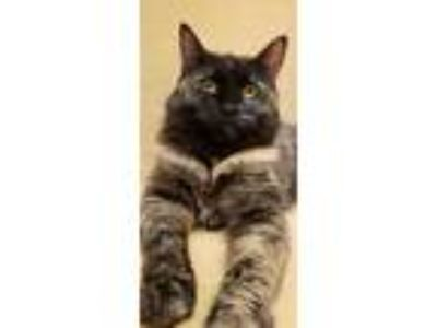Adopt Panther a Domestic Mediumhair / Mixed cat in Sherwood, OR (25337091)