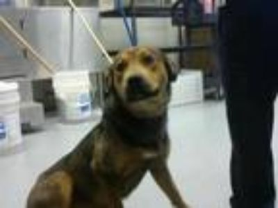 Adopt a Brown/Chocolate German Shepherd Dog / Mixed dog in Fayetteville