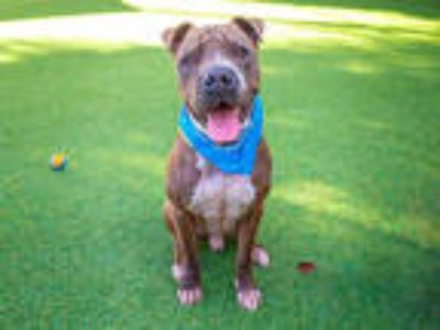Adopt GOOBER a Brown/Chocolate - with White Shar Pei / Mixed dog in Pasadena