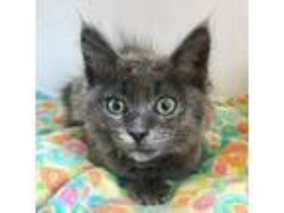 Adopt Skye a Gray or Blue Domestic Mediumhair / Mixed cat in Oakland