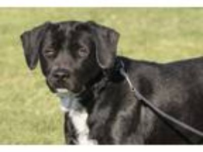 Adopt Fletcher a Black Labrador Retriever / Mixed dog in McKenna, WA (24848509)