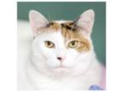 Adopt Irma a Domestic Short Hair