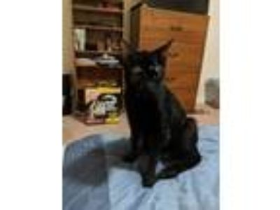 Adopt Shadow (At Pounce Cat Cafe) a All Black Domestic Shorthair / Domestic