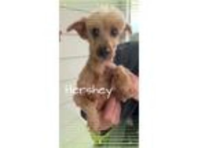 Adopt Hershey a Red/Golden/Orange/Chestnut Poodle (Miniature) / Mixed dog in