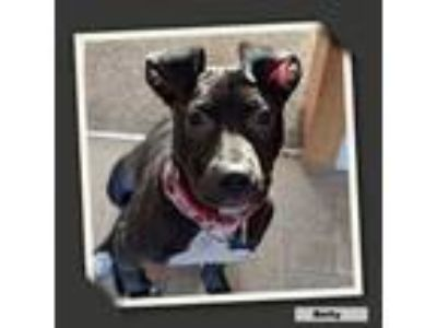 Adopt Betty a American Staffordshire Terrier, Pit Bull Terrier