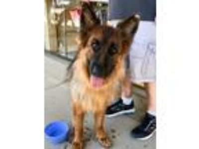 Adopt Shirley a Black - with Tan, Yellow or Fawn German Shepherd Dog / Mixed dog