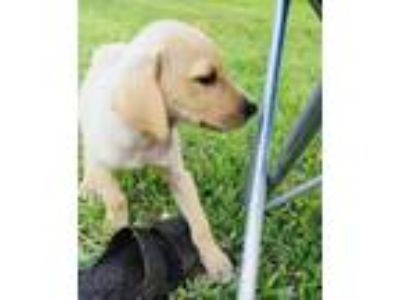 Adopt Diesel a Tan/Yellow/Fawn - with White Hound (Unknown Type) / Labrador