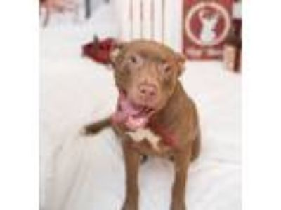 Adopt Chedda a Tan/Yellow/Fawn - with White Labrador Retriever / Pit Bull