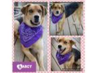 Adopt Darcy a Black - with Tan, Yellow or Fawn German Shepherd Dog / Labrador