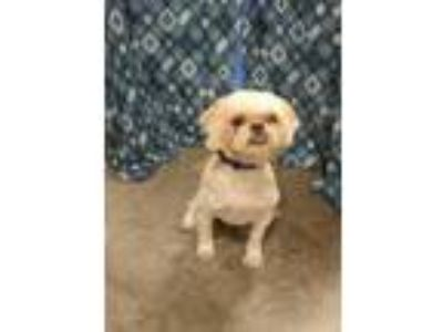 Adopt *Taking Applications Only* Percy a White Shih Tzu / Poodle (Miniature) /