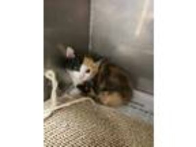 Adopt Pantsuit a All Black Domestic Shorthair / Domestic Shorthair / Mixed cat