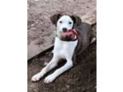 Adopt Dakota a Labrador Retriever, Hound