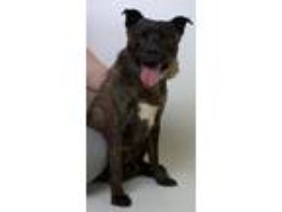 Adopt Brent a Pit Bull Terrier / Mixed dog in Troy, VA (23340782)