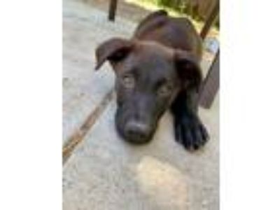 Adopt Scooby Doo Litter_Scooby a Labrador Retriever, German Shepherd Dog