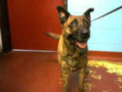 Adopt JOLINE a Brown/Chocolate - with Black German Shepherd Dog / Mixed dog in
