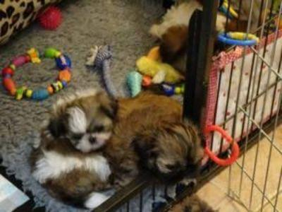 Beautiful Shih tzu puppies high blood line purebred,