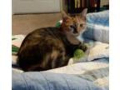 Adopt Suzie a Calico or Dilute Calico Calico cat in Denver, PA (25498030)