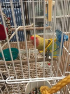 love bird pet