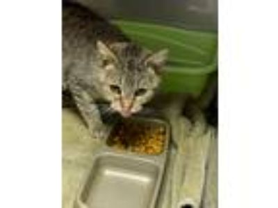 Adopt Misty a Gray, Blue or Silver Tabby Domestic Shorthair (short coat) cat in