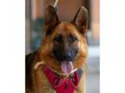 Adopt MC3 a Black - with Tan, Yellow or Fawn German Shepherd Dog / Mixed dog in